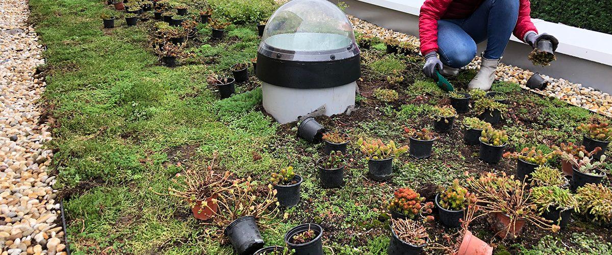 údržba-striech - dosádzanie rastliniek